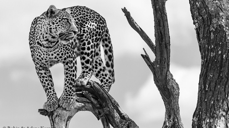 Leopard, Serengeti National Park, Tanzania.