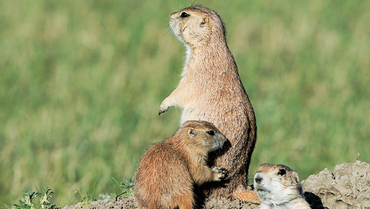 black-tailed prairie dogs, Grasslands National Park, SK