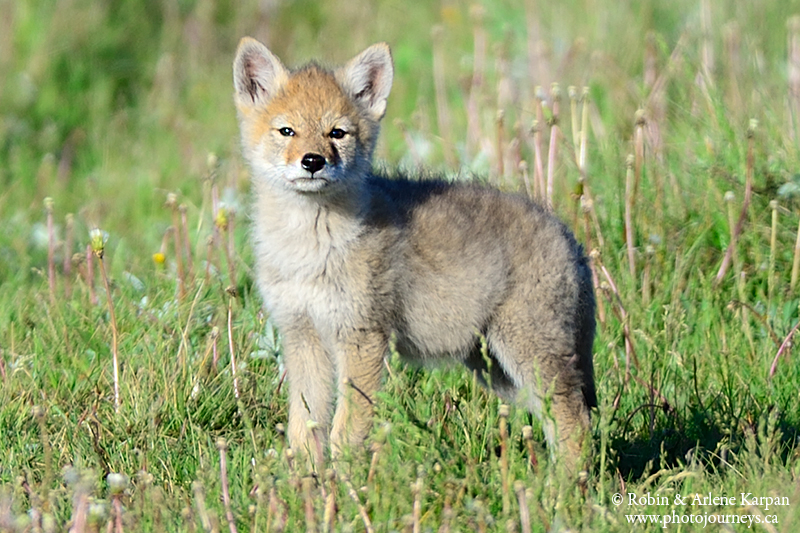 baby coyotes picture - 800×533