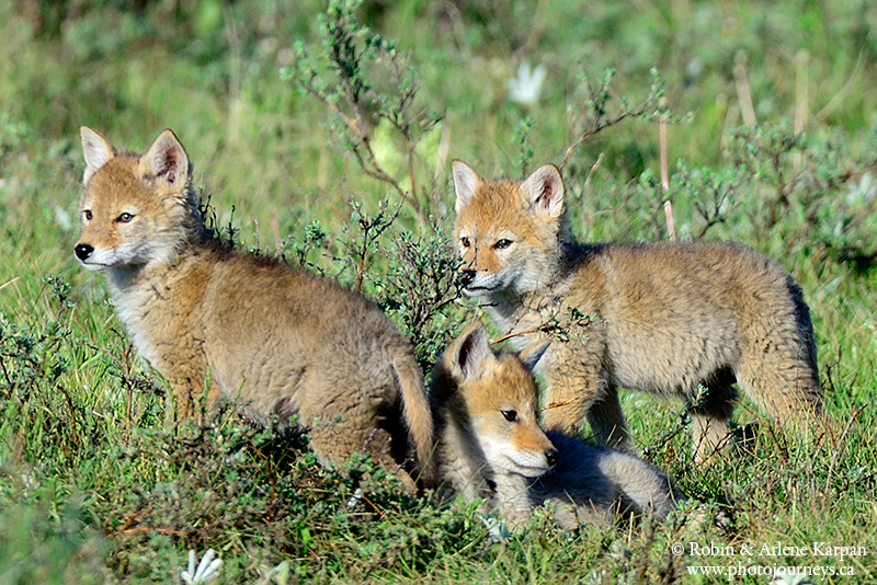 baby coyotes picture - 800×534