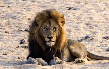 Lion, Kruger, wildlife