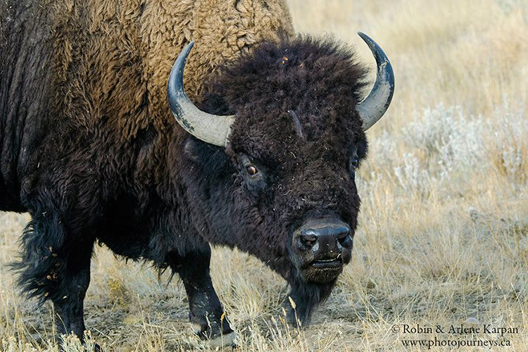 Bison, Grasslands National Park, Saskatchewan