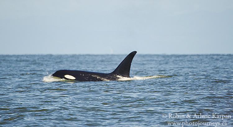 Killer whale near Victoria, BC