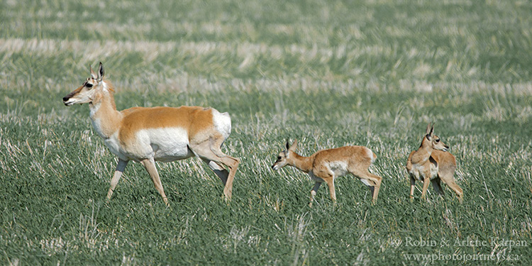 Pronghorn doe and fawns
