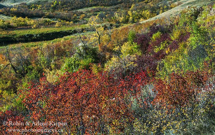 Fall colours, Saskatchewan Landing Provincial Park, Saskatchewan.