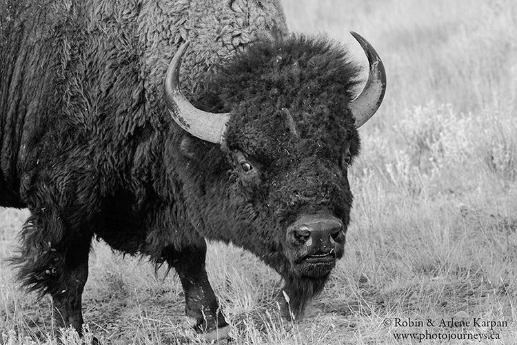 Bison, Grasslands National Park, Saskatchewan.