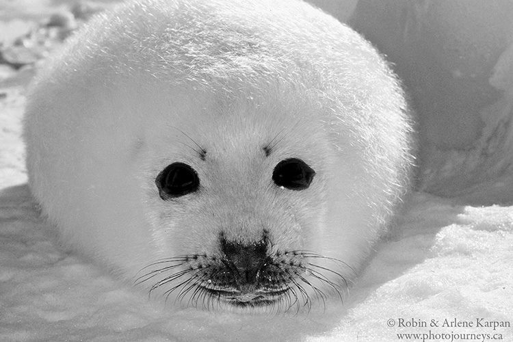 A baby harp seal on snow and ice is almost all black & white to begin with. Gulf of St. Lawrence near Magdalen Islands, Quebec