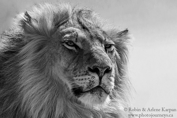 Lion, Kgalagadi Transfrontier Park, South Africa