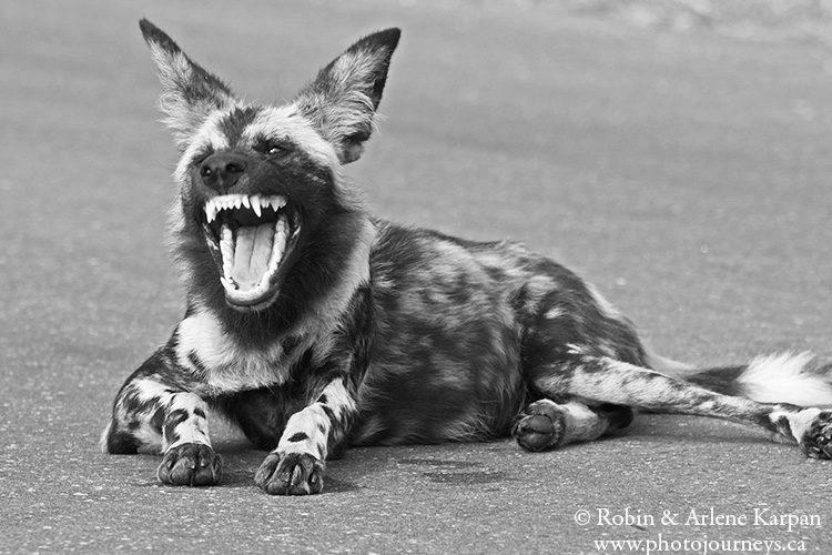 African wild dog, Kruger National Park, South Africa.