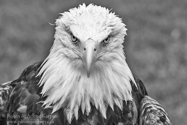 Bald eagle, Alberta Birds of Prey Centre, Coaldale, Alberta.