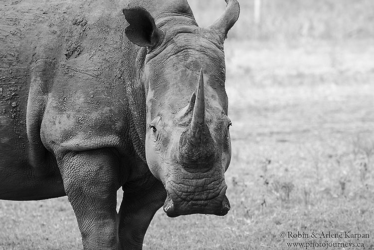 White rhino, Marakele National Park, South Africa.