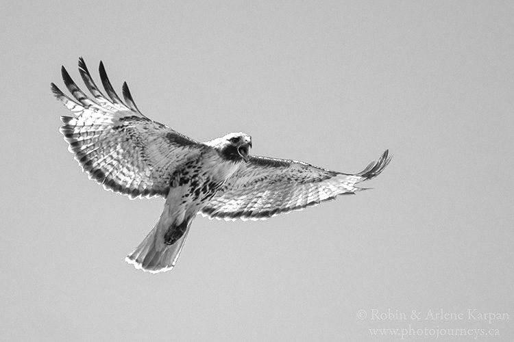 Red-tailed hawk, Thickwood Hills, Saskatchewan