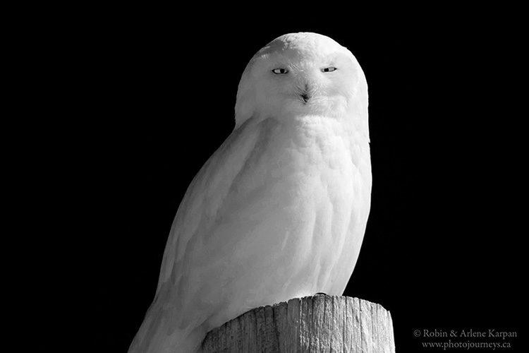 Snowy owl west of Saskatoon, Saskatchewan.