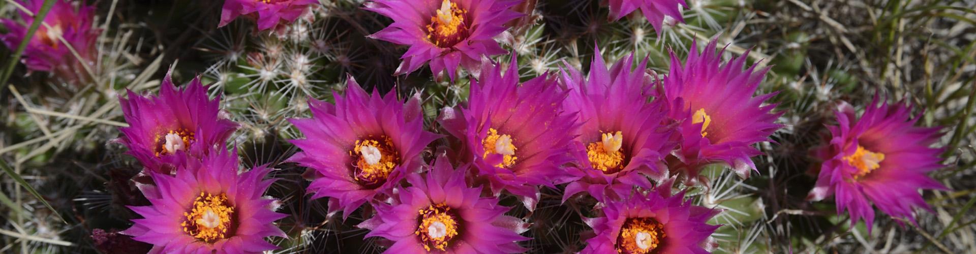 Pincushion cactus, Saskatchewan