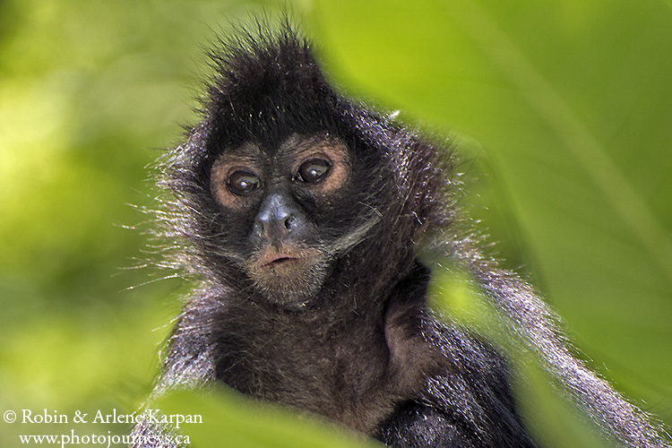 Spider monkey, Sumidero Canyon, Chiapas, Mexico