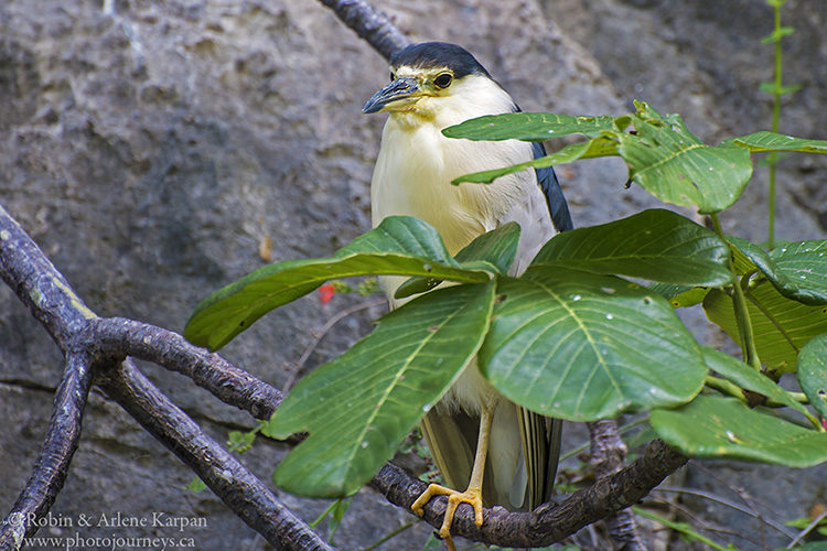 Black-crowned night heron., Sumidero Canyon, Chiapas, Mexico