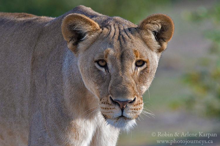 Lioness, Etosha National Park, Namibia