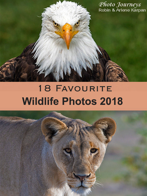 PIN for blog posting 18 Favourite Wildlife Photos 2018 on photojourneys.ca