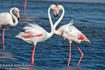 Greater Flamingoes, Walvis Bay, Namibia