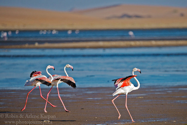 Greater Flamingos, Walvis Bay Lagoon, Namibia.