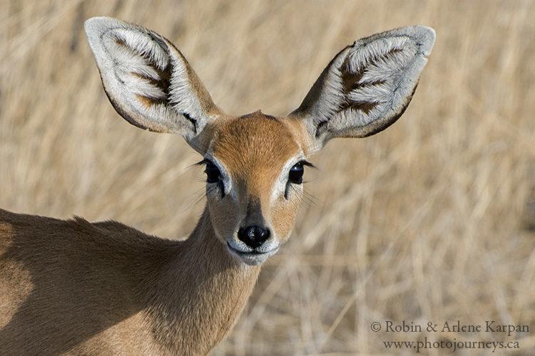 Steenbok, Etosha National Park, Namibia.