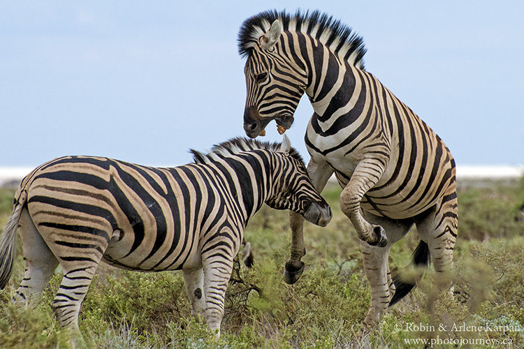 Zebras fighting, Etosha National Park, Namibia.