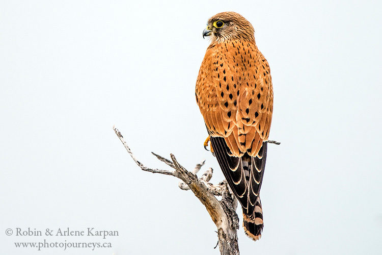 Great kestrel, Etosha National Park, Namibia.