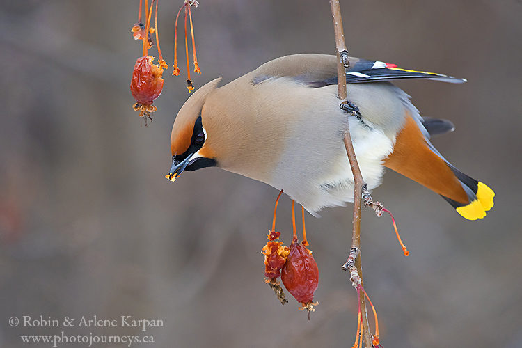 Bohemian waxwing in our backyard in Saskatoon.