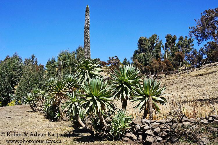 Giant lobelia, Simien Mountains, Ethiopia from photojourneys.ca
