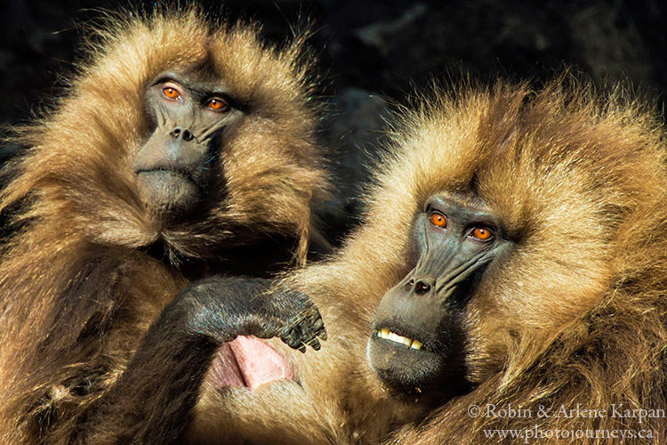 Gelada baboons, Simien Mountains, Ethiopia from photojourneys.ca