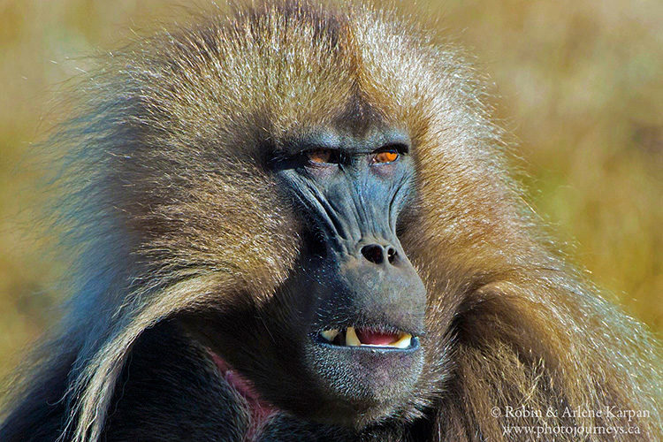 Gelada baboon, Simien Mountains, Ethiopia from photojourneys.ca