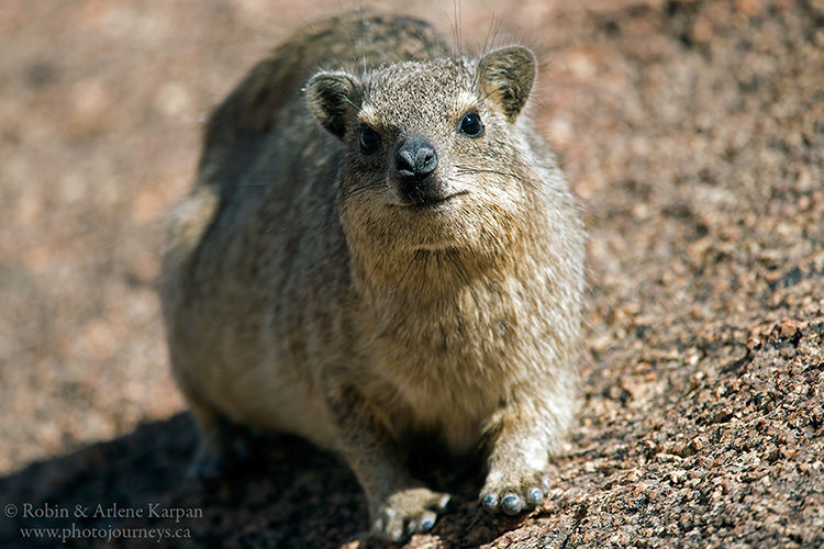 Dassie, Spitzkoppe, Namibia from photojourneys.ca