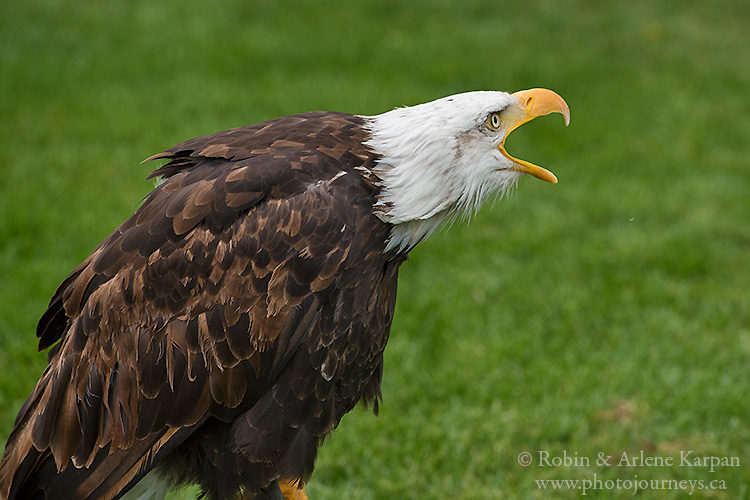 Bald eagle, Alberta Birds of Prey Centre, Coaldale, AB