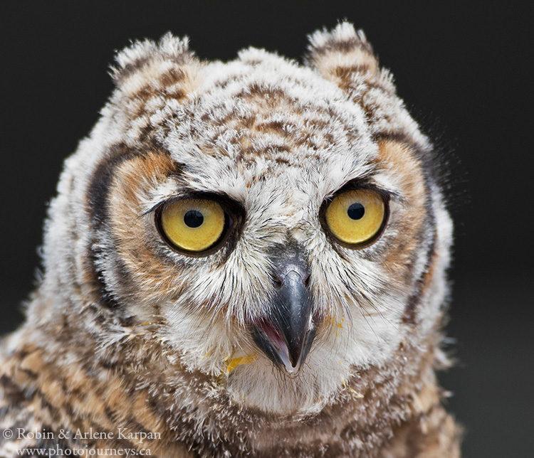 Great Horned owl, Alberta Birds of Prey Centre, Coaldale, AB