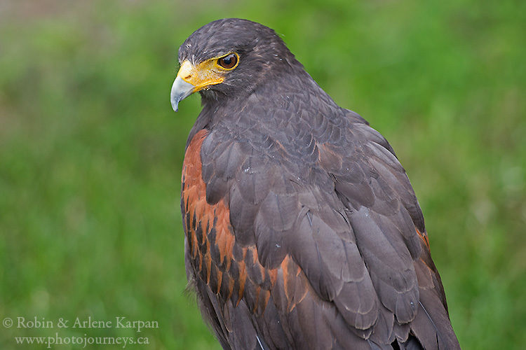 Harris's hawk, Alberta Birds of Prey Centre, Coaldale, AB