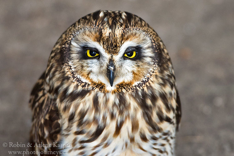 Short-eared owl, Alberta Birds of Prey Centre, Coaldale, AB