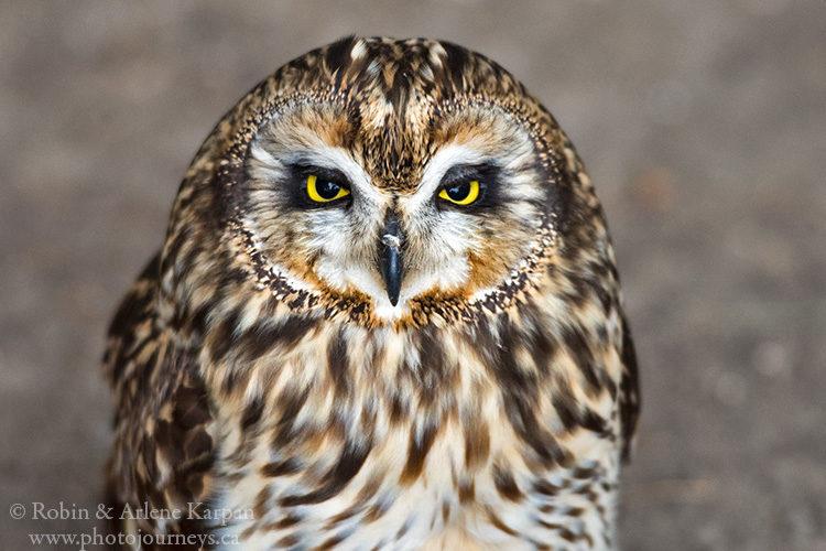 Short-eared owl, Alberta Birds of Prey Centre, Coaldale, AB