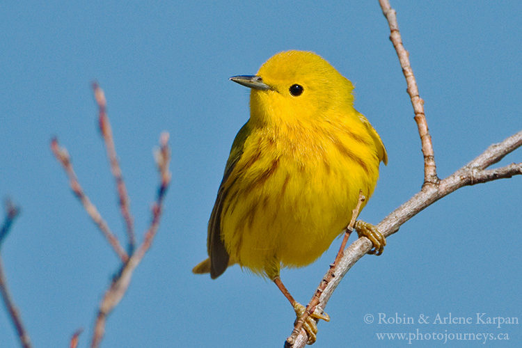 Male yellow warbler, Saskatchewan