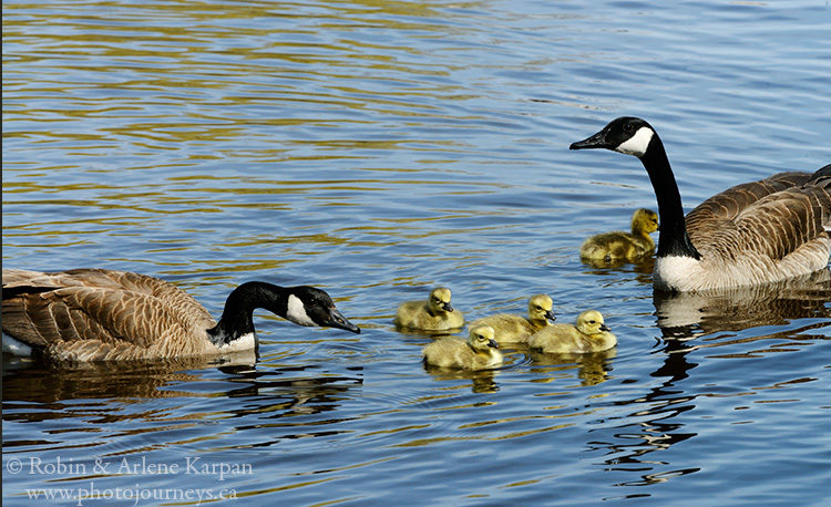 Canada geese, Saskatchewan