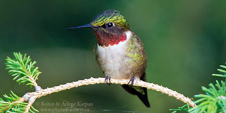 Male Ruby-throated Hummingbird, Saskatchewan