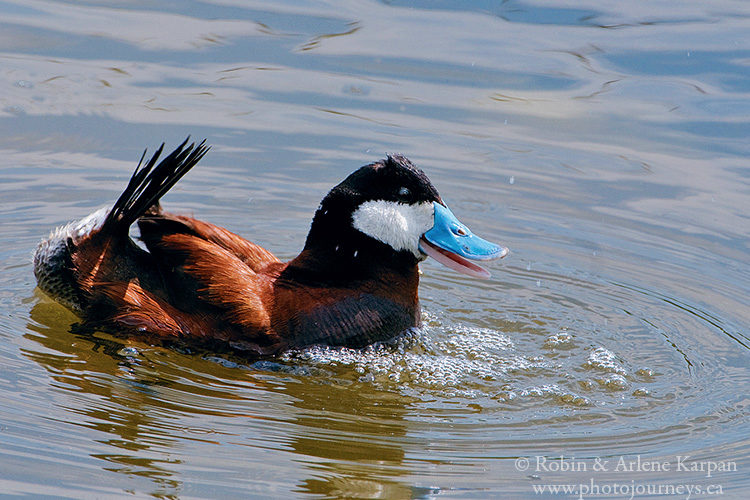 Male ruddy duck with his bubbles and belching routine, Saskatchewan