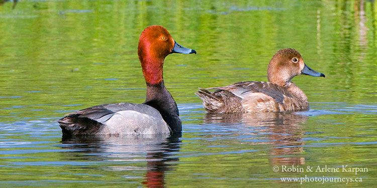 Redhead ducks, Saskatchewan