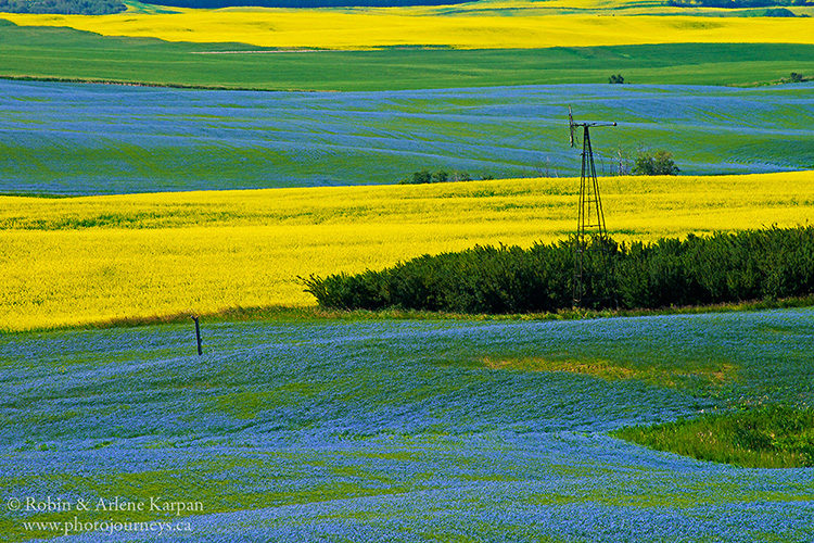 Canola and flax in bloom near Redberry Lake.