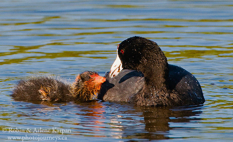 American coot and chick, Saskatchewan