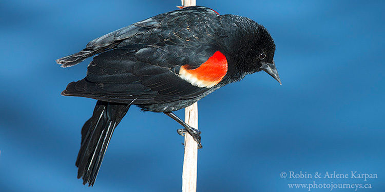Red-winged blackbird, Saskatchewan