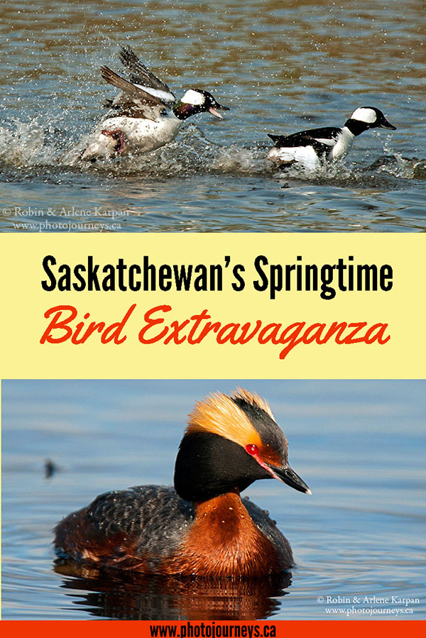 Spring Bird Extravaganza in Saskatchewan on Photojourneys.ca