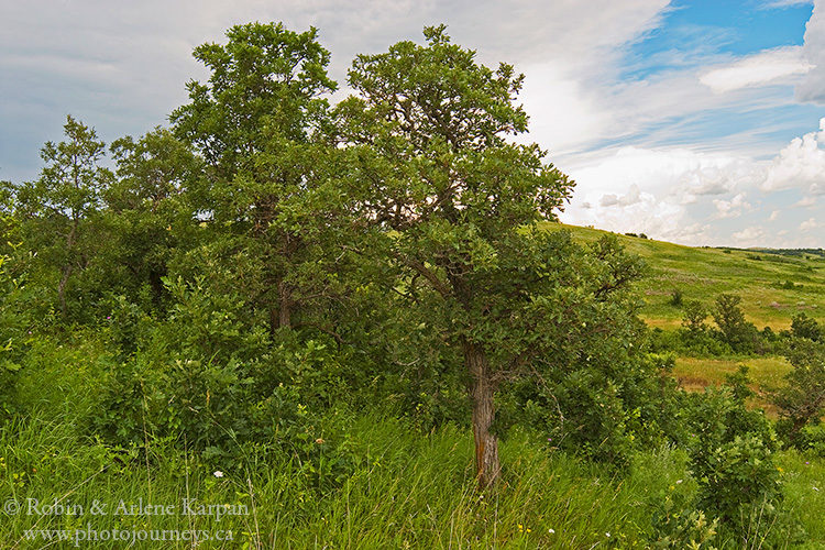 Burr oak trees in the Qu'Appelle Valley, Saskatchewan.