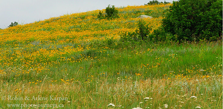 Wildflowers, including prairie coneflower, Qu'Appelle Valley, Saskatchewan
