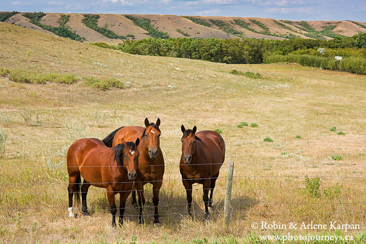 Horses in the Qu'Appelle Valley, Saskatchewan.