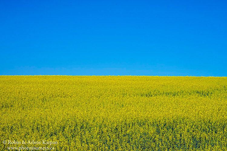 Canola field, Saskatchewan
